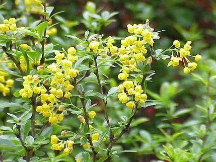 berberina pianta