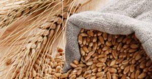 """Grano Khorasan: un """"tesoro"""" di grano antico"""